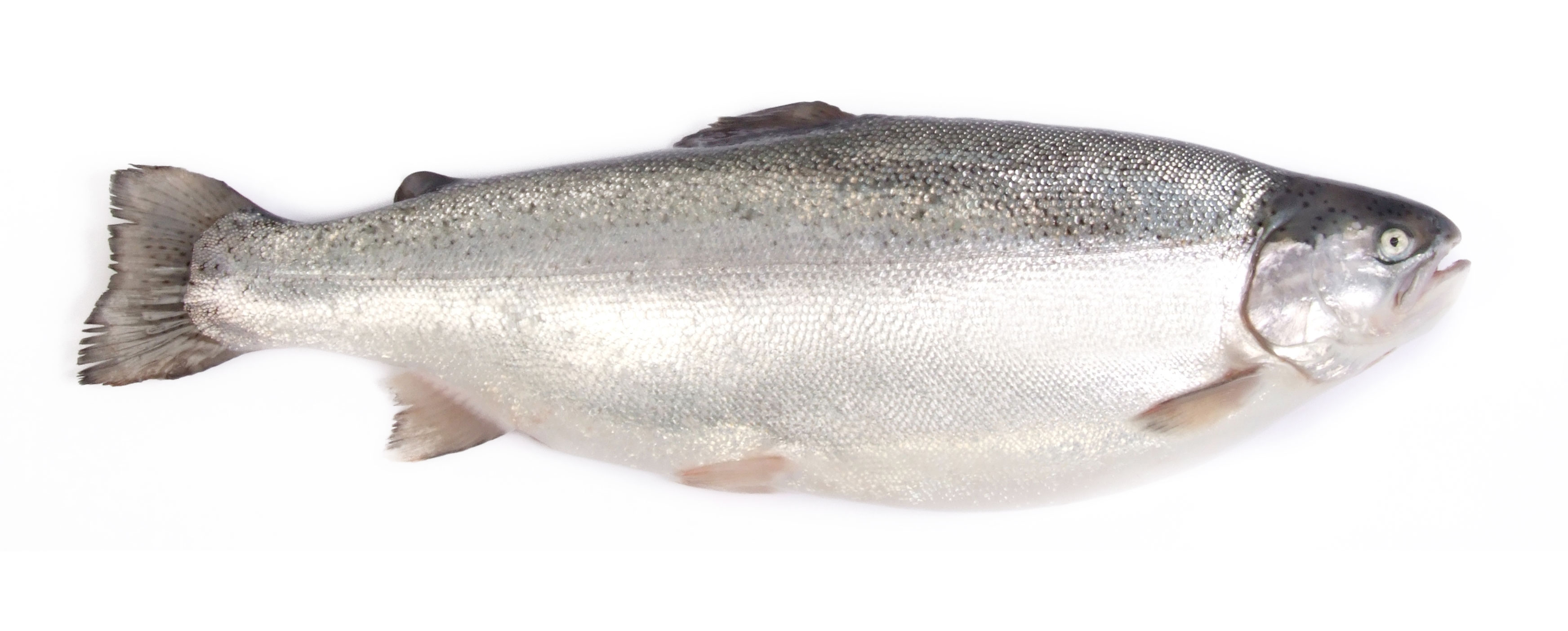 Product - Salmón Chile